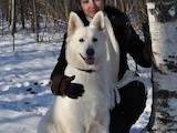 Собаки, щенки Белая Швейцарская овчарка, Фото