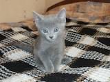 Кішки, кошенята Російська блакитна, ціна 200 Грн., Фото