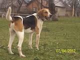 Собаки, щенки Латвийская гончая, цена 2000 Грн., Фото