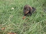 Собаки, щенята Жорсткошерста такса, ціна 750 Грн., Фото