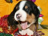 Собаки, щенята Великий Швейцарський зенненхунд, ціна 12000 Грн., Фото