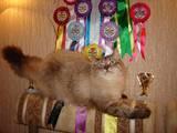 Кошки, котята Невская маскарадная, цена 2400 Грн., Фото