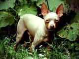 Собаки, щенки Русский гладкошерстный тойтерьер, цена 1600 Грн., Фото