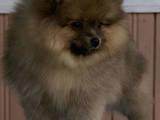 Собаки, щенята Малий шпіц, ціна 2400 Грн., Фото
