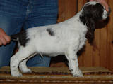 Собаки, щенята Англійська Спрінгер спаніель, ціна 123 Грн., Фото
