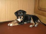 Собаки, щенята Пінчер, ціна 500 Грн., Фото