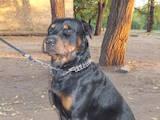 Собаки, щенята Ротвейлер, ціна 123 Грн., Фото