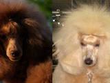 Собаки, щенки Той-пудель, цена 5000 Грн., Фото