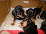 Собаки, щенки Гладкошерстная такса, цена 200 Грн., Фото