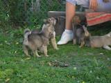 Собаки, щенки Восточно-Сибирская лайка, цена 500 Грн., Фото