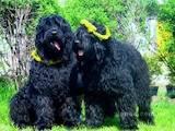 Собаки, щенята Чорний тер'єр, ціна 3200 Грн., Фото