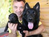 Собаки, щенки Бельгийская овчарка (Грюнендаль), цена 2500 Грн., Фото