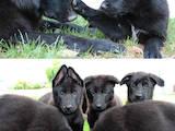 Собаки, щенята Бельгійська вівчарка (Грюнендаль), ціна 2500 Грн., Фото