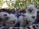Кішки, кошенята Невськая маскарадна, ціна 800 Грн., Фото