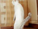 Кошки, котята Бурма, цена 590 Грн., Фото