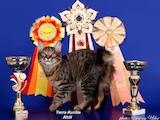 Кішки, кошенята Курильський бобтейл, ціна 1600 Грн., Фото