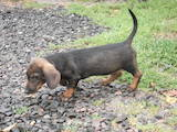 Собаки, щенята Жорсткошерста такса, ціна 800 Грн., Фото