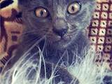 Кошки, котята Русская голубая, цена 0.50 Грн., Фото