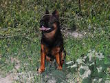 Собаки, щенки Брабантский гриффон, цена 100 Грн., Фото