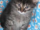 Кошки, котята Норвежская лесная, Фото