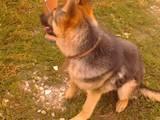 Собаки, щенята Східно-Європейська вівчарка, ціна 750 Грн., Фото