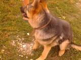 Собаки, щенки Восточно-Европейская овчарка, цена 750 Грн., Фото