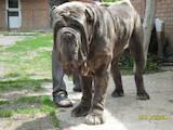 Собаки, щенята Мастіно неаполетано, ціна 25 Грн., Фото