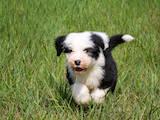 Собаки, щенки Бобтейль, цена 6000 Грн., Фото