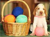 Собаки, щенки Итальянский бракко, цена 10000 Грн., Фото