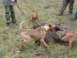 Собаки, щенки Ирландский терьер, цена 300 Грн., Фото