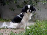Собаки, щенки Японский хин, цена 3000 Грн., Фото