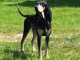 Собаки, щенята Баварський гончак, ціна 6000 Грн., Фото