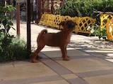 Собаки, щенята Брабантський гріффон, ціна 5000 Грн., Фото