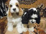 Собаки, щенки Американский коккер, Фото