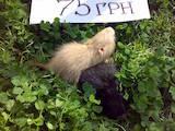 Грызуны Домашние крысы, цена 75 Грн., Фото