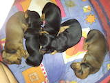 Собаки, щенки Гладкошерстная миниатюрная такса, цена 3000 Грн., Фото