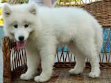 Собаки, щенки Самоед, цена 4500 Грн., Фото