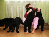 Собаки, щенята Різеншнауцер, ціна 1500 Грн., Фото