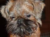 Собаки, щенята Брюссельський гріффон, ціна 7500 Грн., Фото