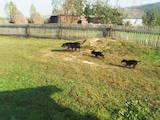 Собаки, щенята Стаффордширський бультер'єр, ціна 2000 Грн., Фото