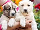 Собаки, щенята Турецька Кангал, ціна 3000 Грн., Фото