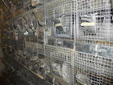 Грызуны Шиншиллы, цена 250 Грн., Фото