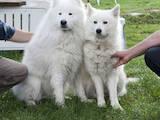 Собаки, щенки Самоед, цена 6000 Грн., Фото