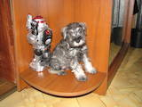 Собаки, щенята Цвергшнауцер, ціна 1300 Грн., Фото