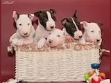 Собаки, щенята Мініатюрний бультер'єр, ціна 8000 Грн., Фото