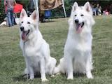 Собаки, щенята Біла Швейцарська вівчарка, ціна 6000 Грн., Фото