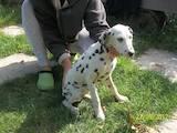 Собаки, щенки Далматин, цена 1500 Грн., Фото