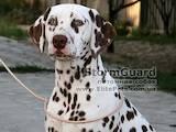 Собаки, щенки Далматин, цена 4000 Грн., Фото