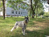 Собаки, щенята Міттельшнауцер, ціна 2500 Грн., Фото