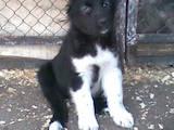 Собаки, щенята Кавказька вівчарка, ціна 2450 Грн., Фото